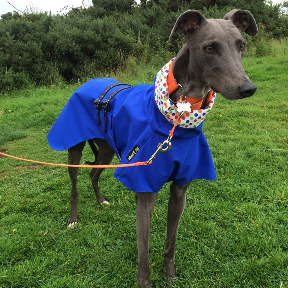 Greyhound raincoat cotton lined royal harlequin spot
