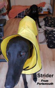Greyhound shower mac canary yellow