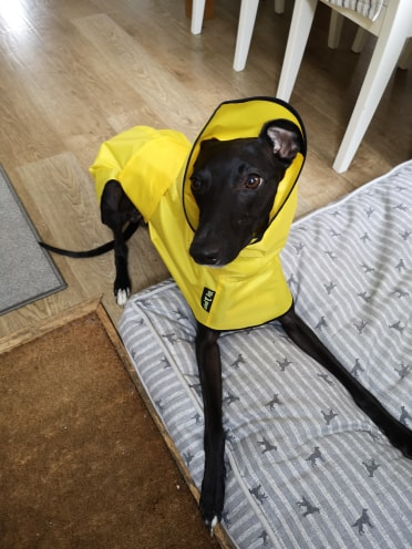 whippet shower mac - canary yellow