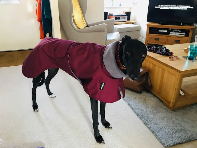 Cleo from Shropshire - Greyhound Raincoat - Burgundy/Grey Fleece lining