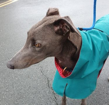 Boo from Merseyside - Greyhound Raincoat Teal/Red Spot Cotton