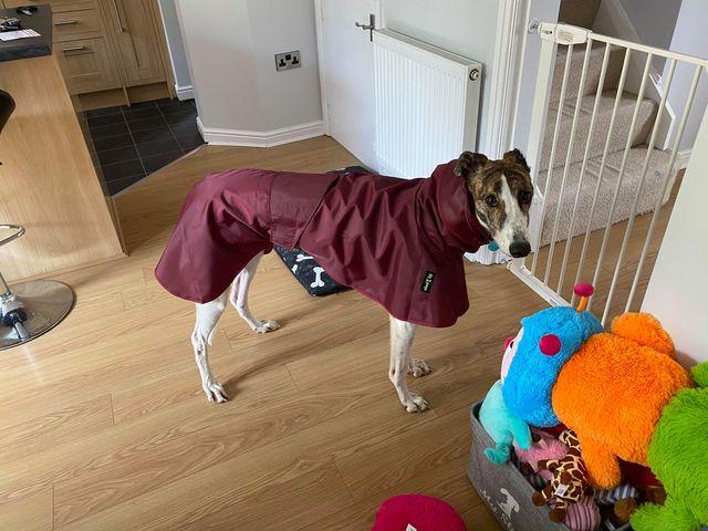 Bella from Deeside - Greyhound Raincoat Burgundy/Grey Spot Cotton lining