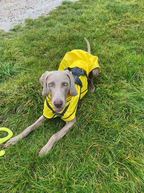 Enzo Weimaranar - Greyhound Shower Mac Yellow/Black Trim