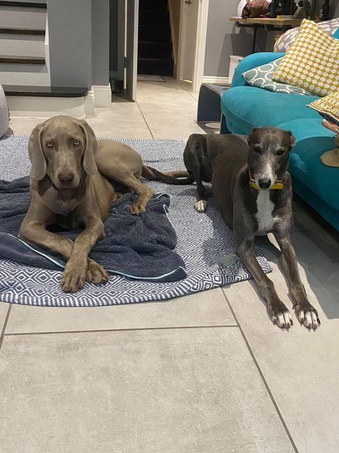 Enzo Weimaraner & Daisy Greyhound
