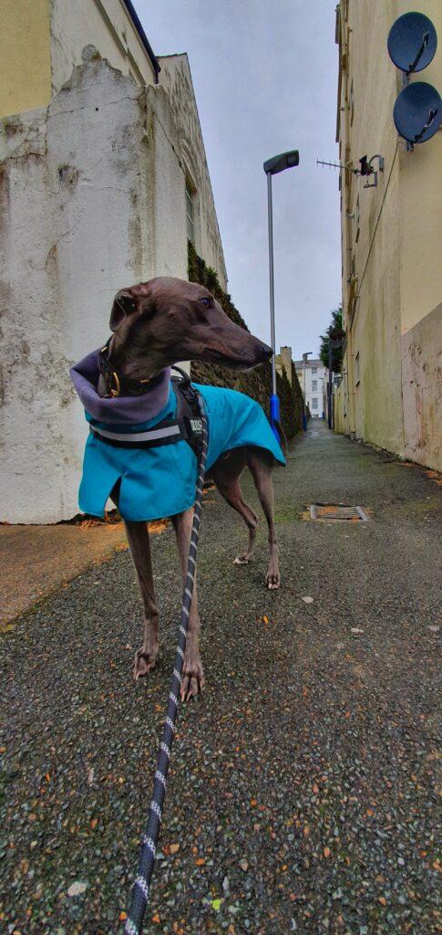 Mojo from Isle of Man - Greyhound Raincoat/Teal/Grey Fleece Lining